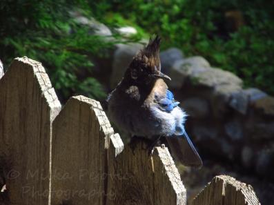 Stellar jay bird