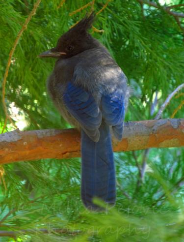 Stellar Jay bird sitting on a branch