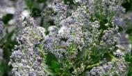 Lilac Blooms – A SpringFavorite