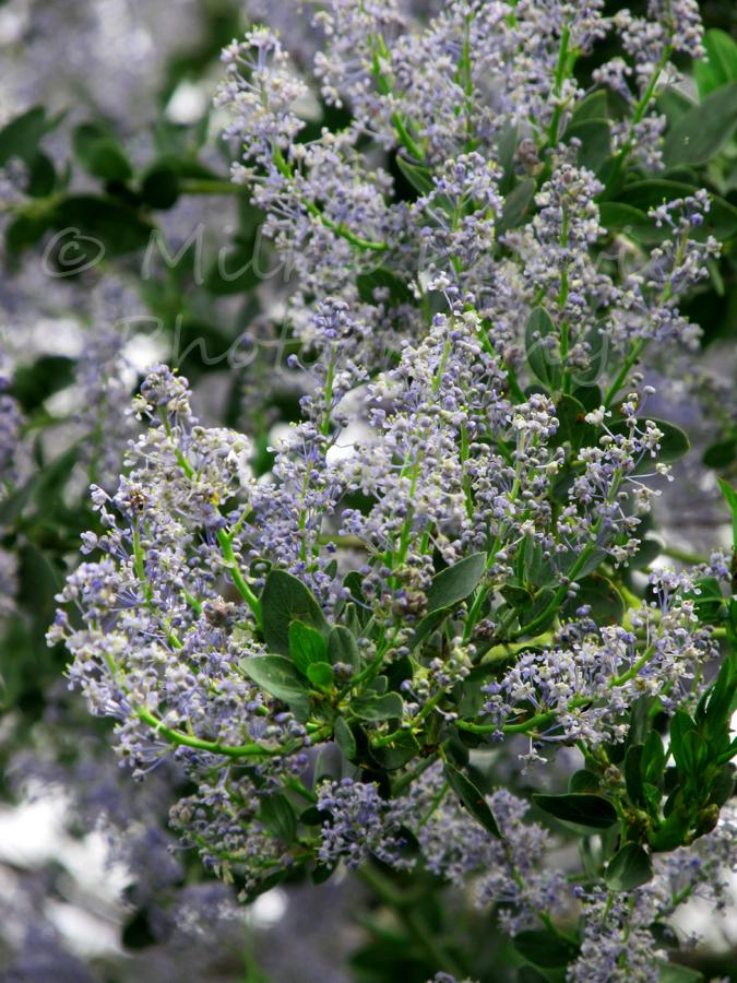 Ramona lilac blooms