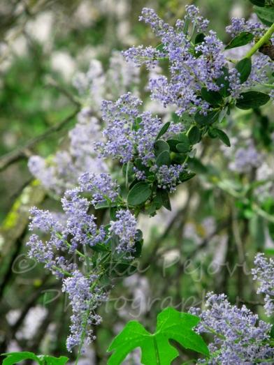 Lilac blooms in Ramona, California