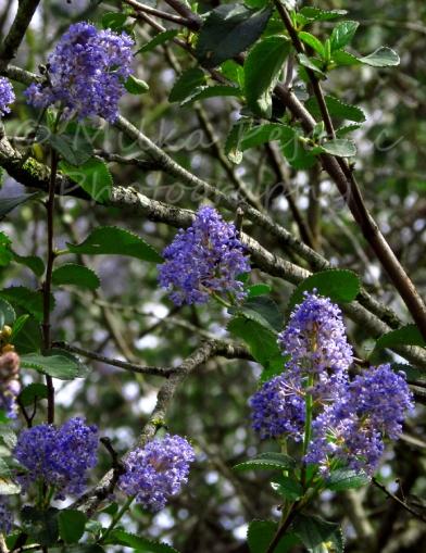 Ramona lilac blooms in Dos Picos Park