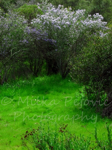 Lilac and green, for a beautiful spring picture