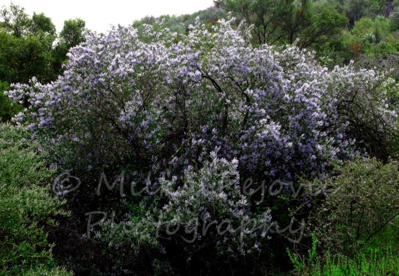 Ramona lilac tree in bloom