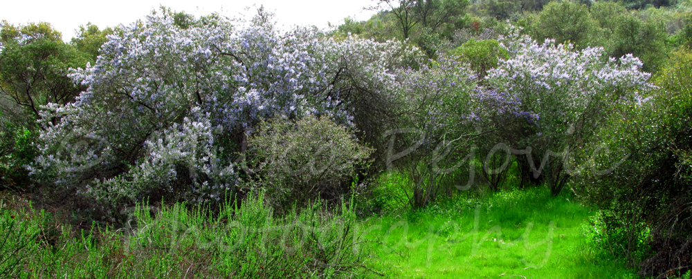 Ramona lilac trees in bloom in Dos Picos Park, Ramona, California