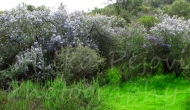 Lilac trees in bloom in SouthernCalifornia
