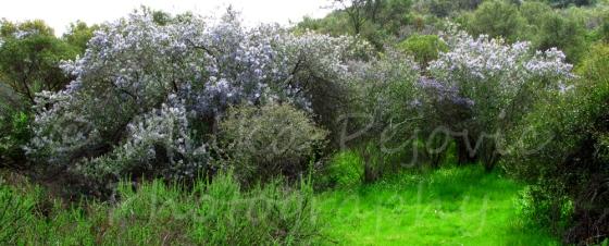 Ramona lilac trees in bloom in Dos Picos Park, Ramona, California