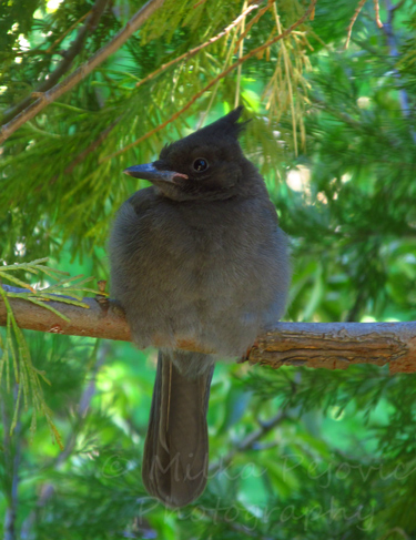 Photo of female Stellar Jay bird in Idyllwild, California