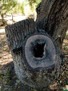 Hollow tree with three trunks