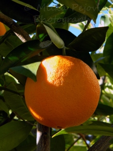 California orange on an orange tree