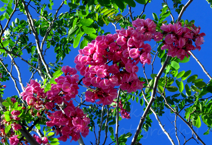 Beautiful tree blossoms if i just knew what they were milka pejovic beautiful pink flower clusters on a purple robe locust mightylinksfo