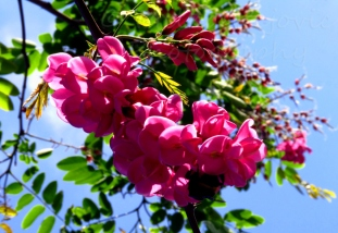 Cluster of pink flowers blooming on a tree