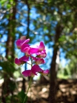 Wordpress weekly photo challenge: Focus - Sweet pea flower in Idyllwild, California