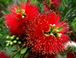 Wordpress weekly photo challenge: Saturated - Bottle brush tree flowers