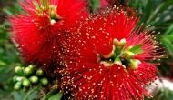 My 2013 calendar pick for April: bottle brush treeflowers