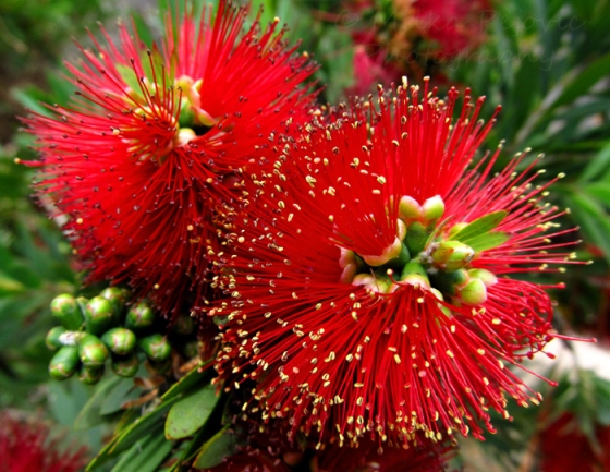 Wordpress weekly photo challenge: Saturated - Bottle brush tree flowers