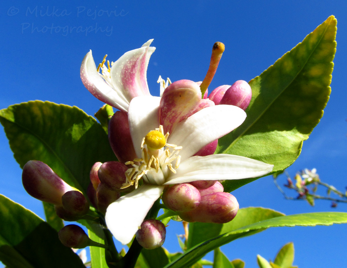 2013 calendar pick for February: lemon blossoms