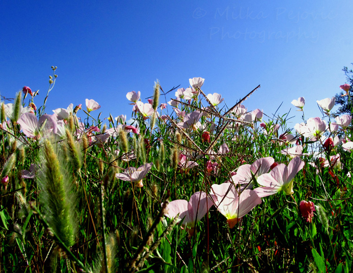 2013 calendar pick for March: California wildflowers