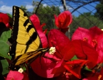May - Tiger swallowtail butterfly on bougainvillea