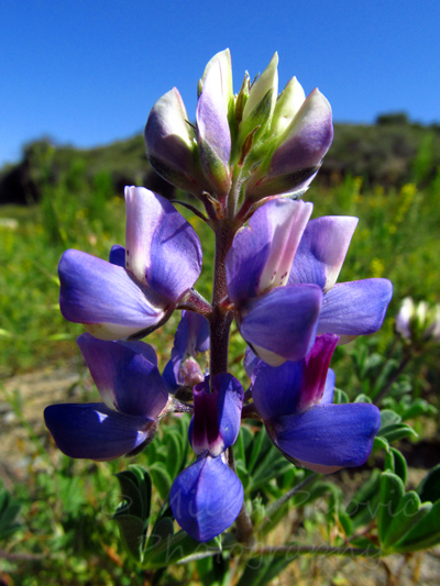 Purple and white California lupine at San Diego Mission Trails Regional Park