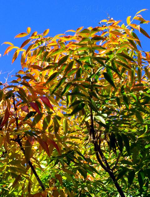 Fall foliage - sumac tree