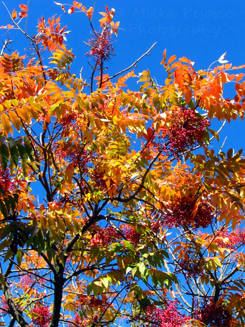 Fall foliage in San Diego - yellow and orange leaves, red seeds of the sumac tree