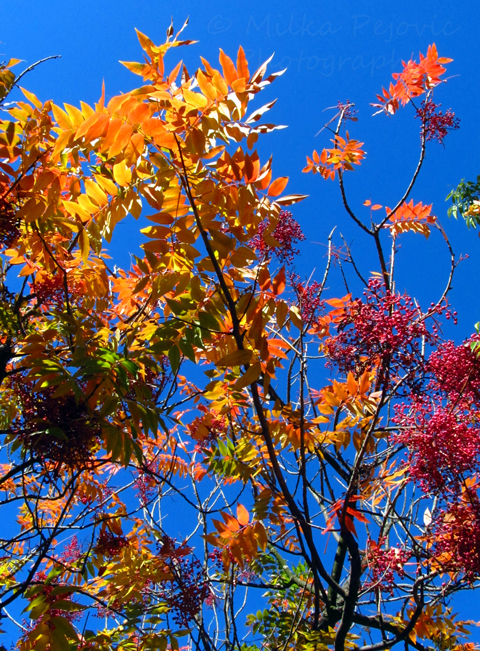 Fall foliage - colorful sumac