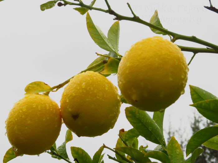 Three wet lemons on the tree