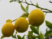 Three wet lemons on the tree