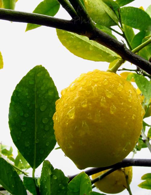Wet lemon on a lemon tree