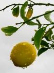 Photo of a lemon on a rainy day