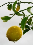Photo of a lemon on a rainy day