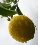 Close-up of a wet lemon