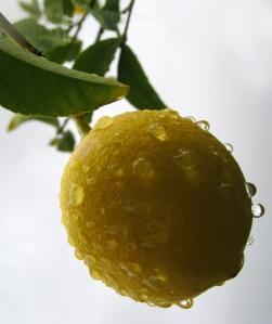 Close-up of a wet lemon