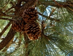December: pine cones up the tree