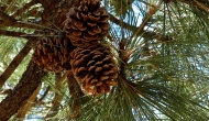 My 2013 calendar pick for December: pine cones up the pinetree