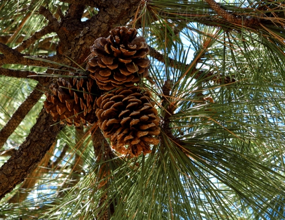 My 2013 calendar pick for December: pine cones up the pine tree