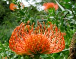 July - protea pin cushion flower