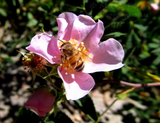 Let's Be Wild Weekly Photo Challenge – Macro - bee on a wild rose