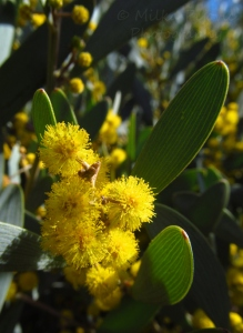 Small puffy yellow flowers - mimosa blooms on the bush