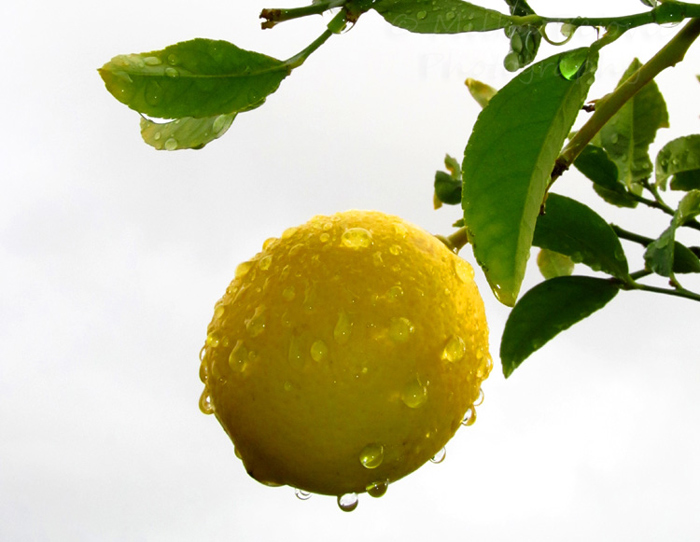 My 2013 calendar pick for November: a lemon in the rain