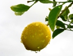 November: rainy lemon