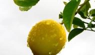 My 2013 calendar pick for November: a lemon in therain
