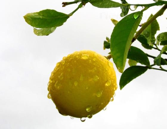 My 2013 calendar pick for November: a lemon in the rain
