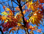September: sumac's fall foliage