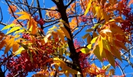 My 2013 calendar pick for September: a sumac's colorful fallfoliage