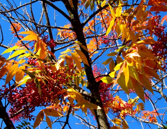 Weekly photo challenge: Fall - a sumac's colorful fall foliage
