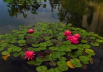 WordPress weekly photo challenge: Reflections- Water lilies at Balboa Park in San Diego