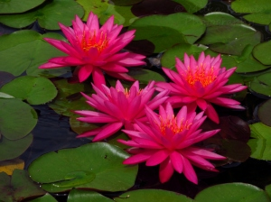 Pink water lilies at San Diego's Balboa Park