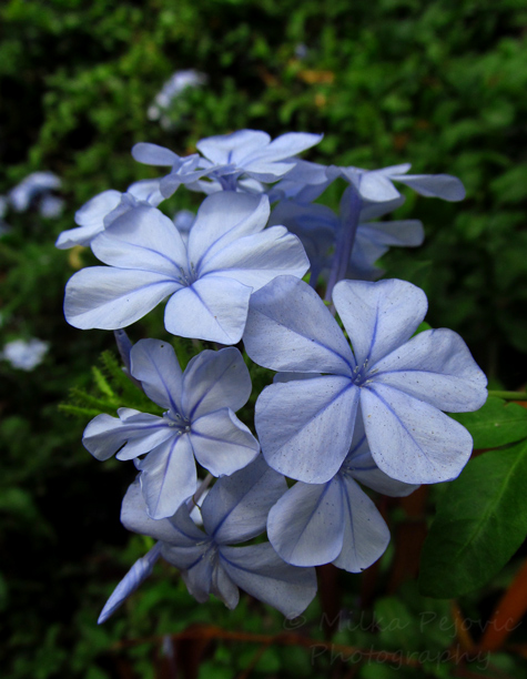 Soft blue flowers